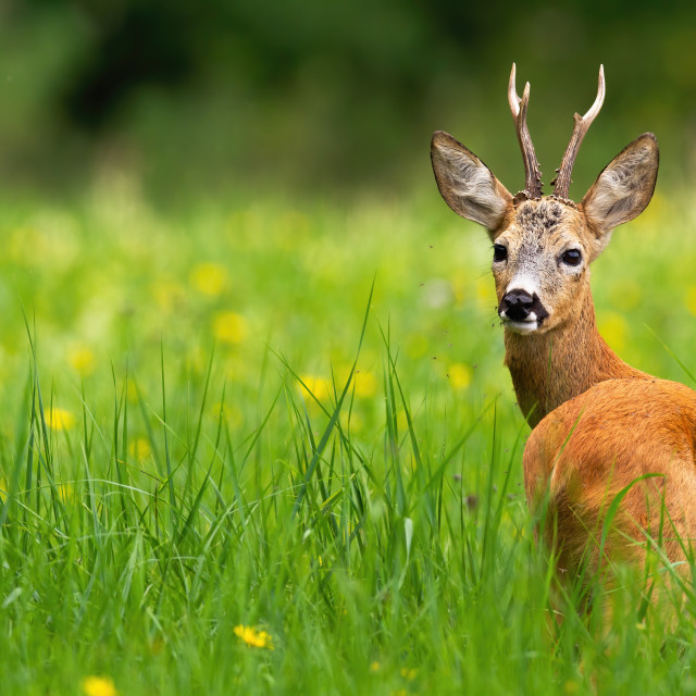 """""""Roe deer buck looking behind on a green meadow with yellow flowers in summer."""" stock image"""