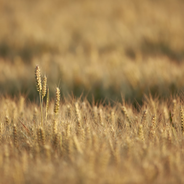 """Ears of wheat standing out in a field ready for harvest"" stock image"