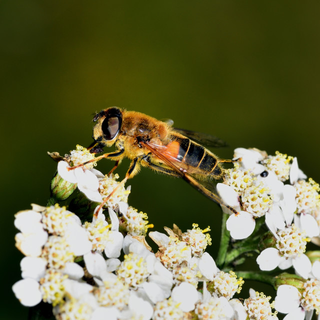 """""""Hoverfly nectar feeding on a white flower"""" stock image"""