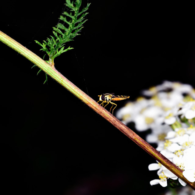 """""""Hoverfly resting a plant stem"""" stock image"""