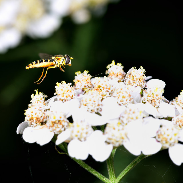 """""""Hoverfly in flight whilst searching for nectar"""" stock image"""
