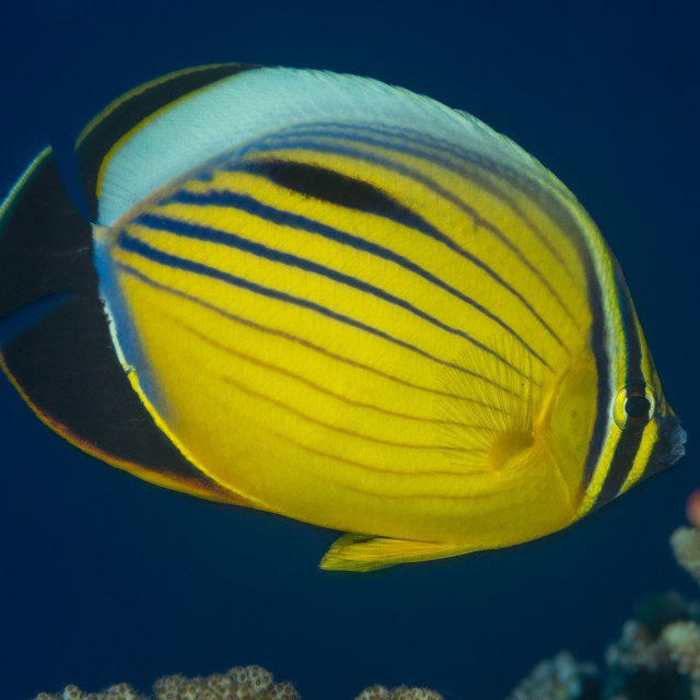 """Exquisite butterflyfish Red Sea"" stock image"