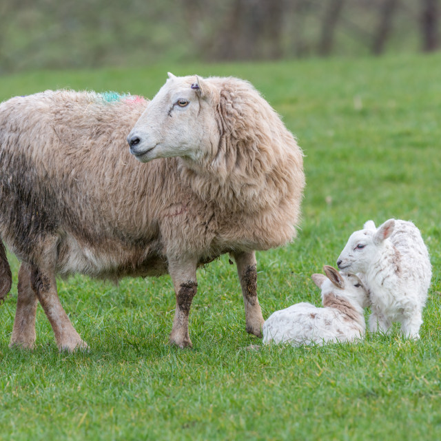 """Brecon Beacons ewe with two lambs"" stock image"