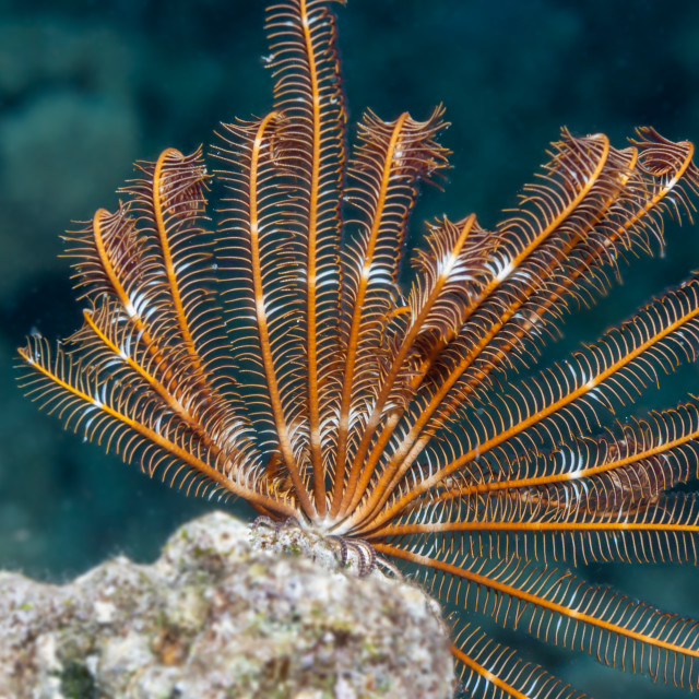 """Feather star Red Sea"" stock image"