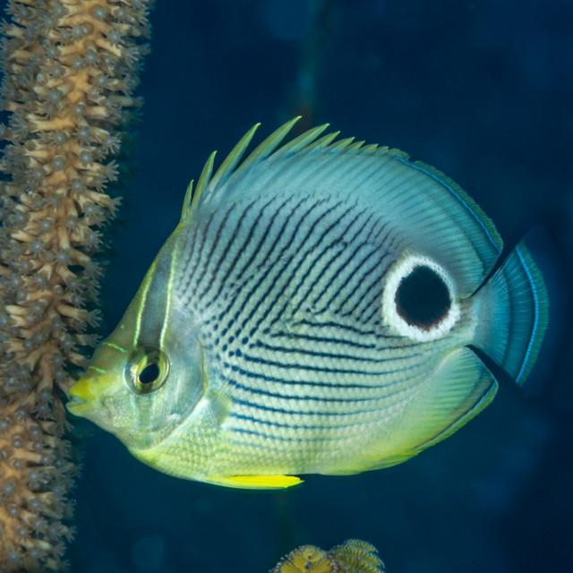 """Foureye butterflyfish Bahamas"" stock image"