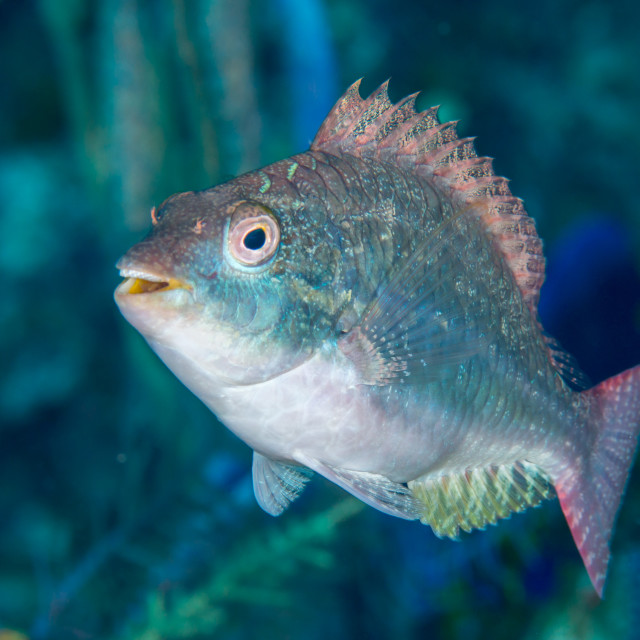 """Greenblotch parrotfish Bahamas"" stock image"