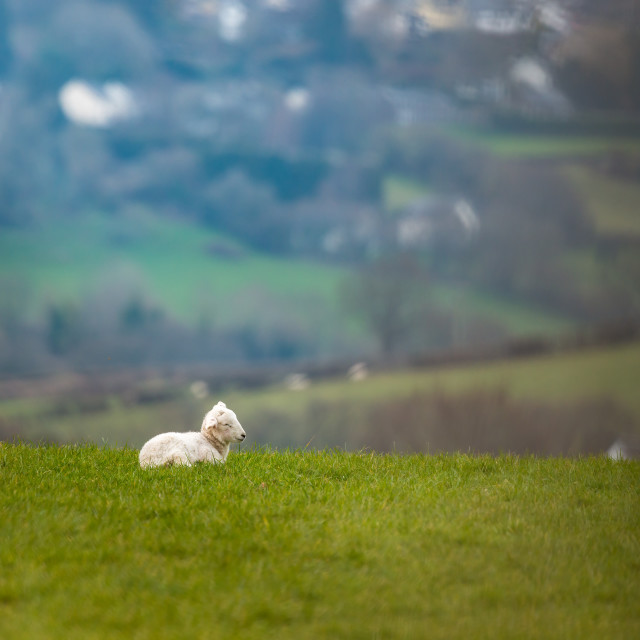 """Lamb sleeping in landscape"" stock image"