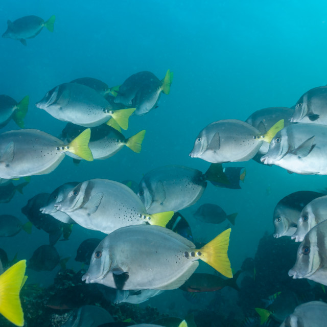"""Razor surgeonfish shoal in the Galapagos"" stock image"