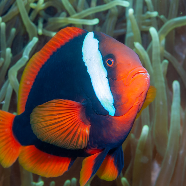 """Tomato clownfish side-on in anemone"" stock image"
