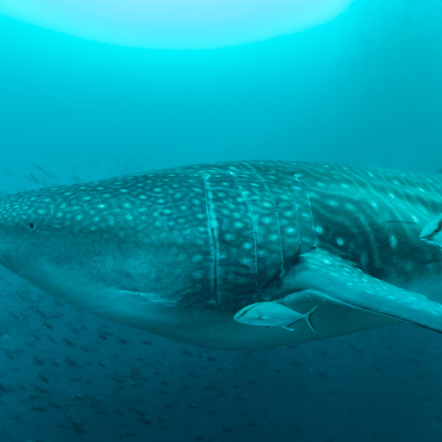 """Whale shark side on"" stock image"