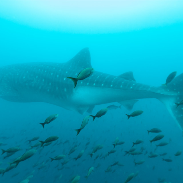 """Whale shark amongst shoal of fish"" stock image"