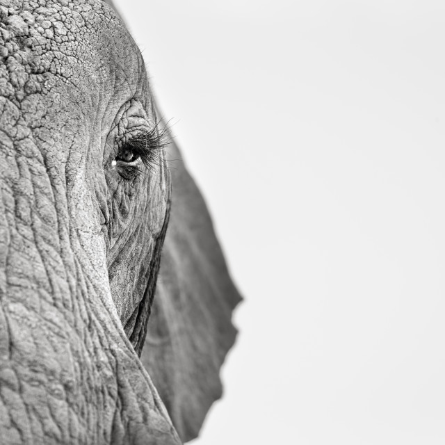 """AN ELEPHANT & HER EYE LASHES."" stock image"
