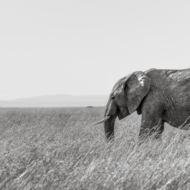 """""""AN ELEPHANT & A SWALLOW."""" stock image"""