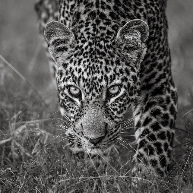 """""""LEOPARD LOOKING STRAIGHT UP."""" stock image"""