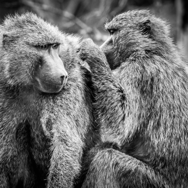"""""""Two Baboons Grooming Each Other"""" stock image"""
