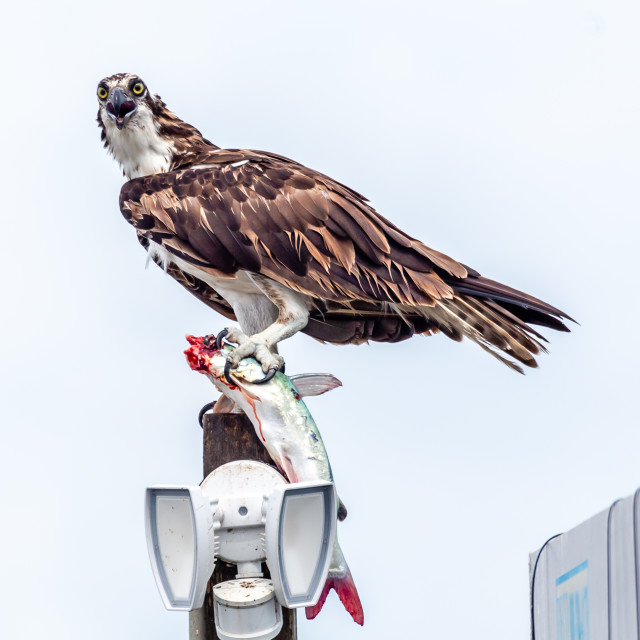 """Western Osprey"" stock image"