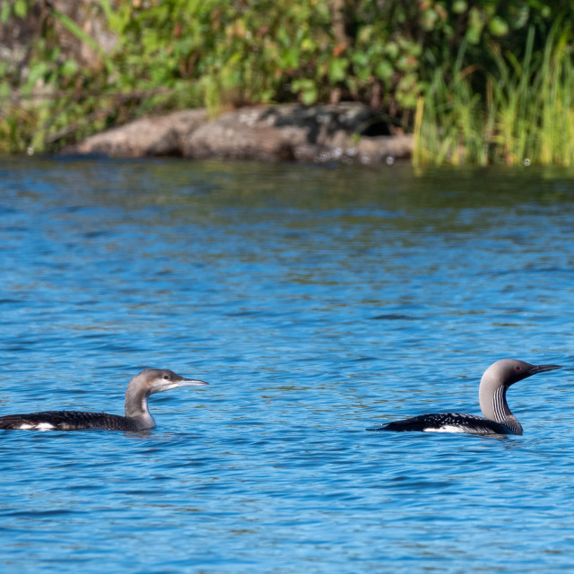 """""""Young black-throated loon with parent"""" stock image"""