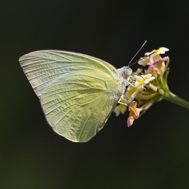 """Brimstone Butterfly"" stock image"