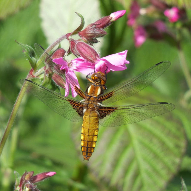 """""""Broad bodied Chaser, Dragonfly"""" stock image"""