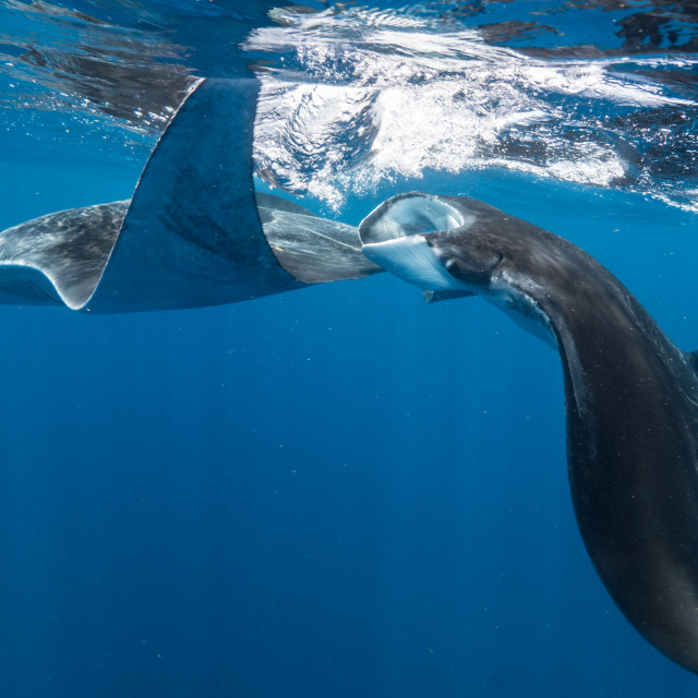 """Manta ray mating dance"" stock image"