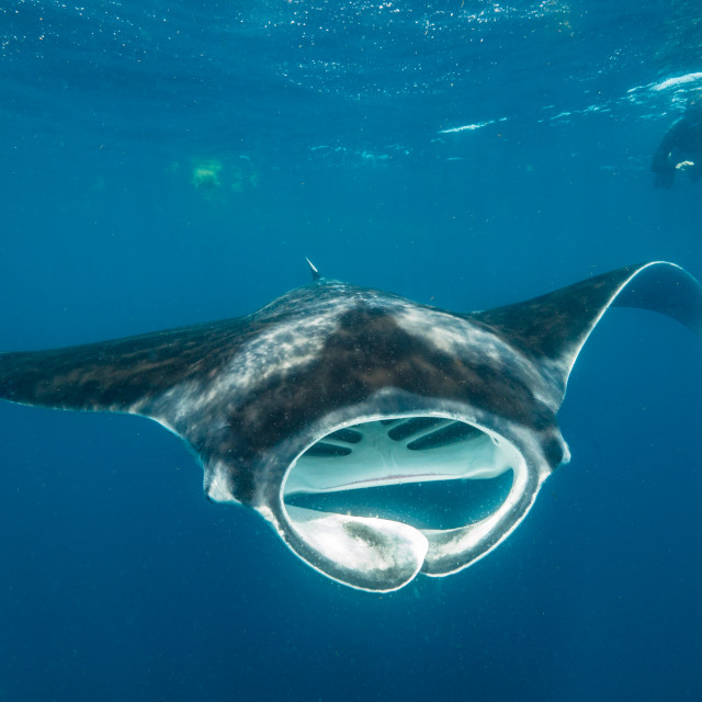 """Manta ray and snorkeller"" stock image"