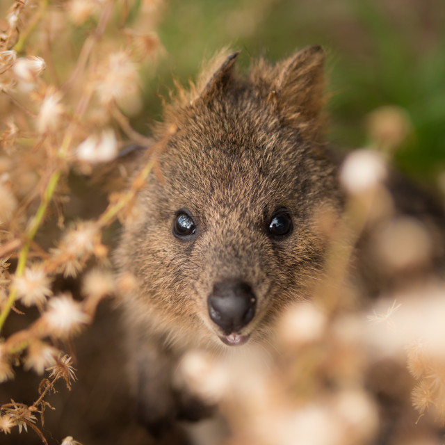 """Quokka in a flower field"" stock image"