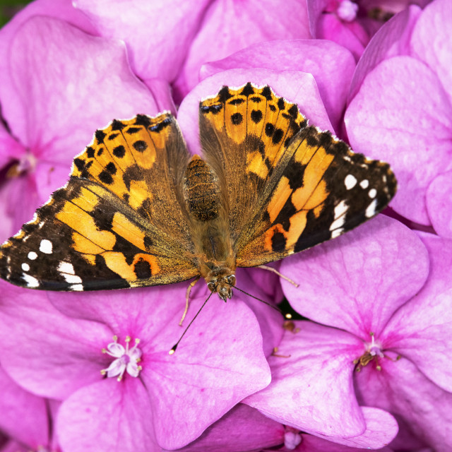 """Painted Lady Butterfly on Hydrangea"" stock image"
