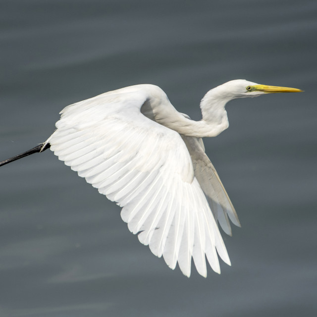 """Great Egret Flight Mode"" stock image"