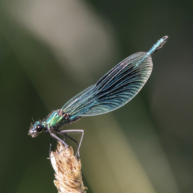 """Banded Demoiselle (Male)"" stock image"