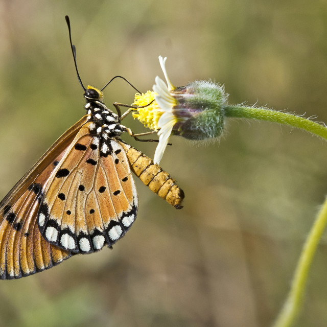 """Tawny Costa Butterfly"" stock image"