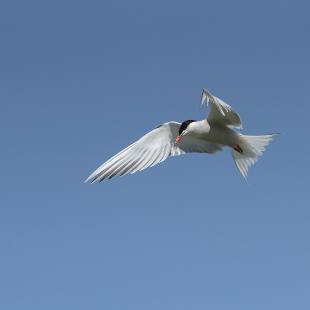 """Common Tern"" stock image"