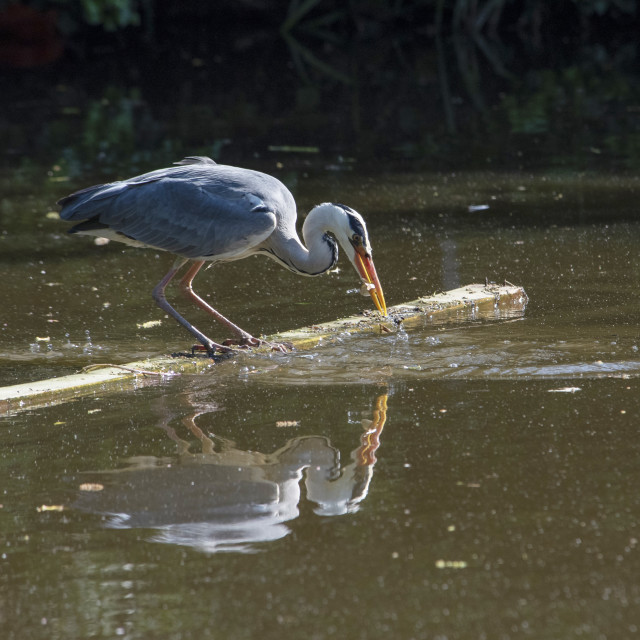"""Heron's Lunch"" stock image"