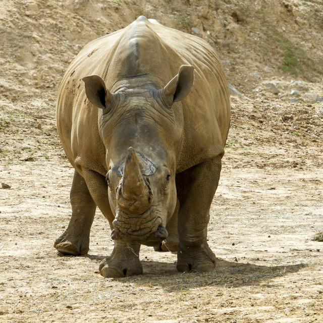 """Rhinoceros Stare"" stock image"