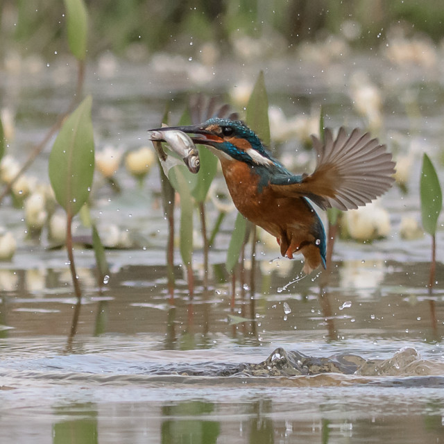 """Kingfisher - Rising"" stock image"