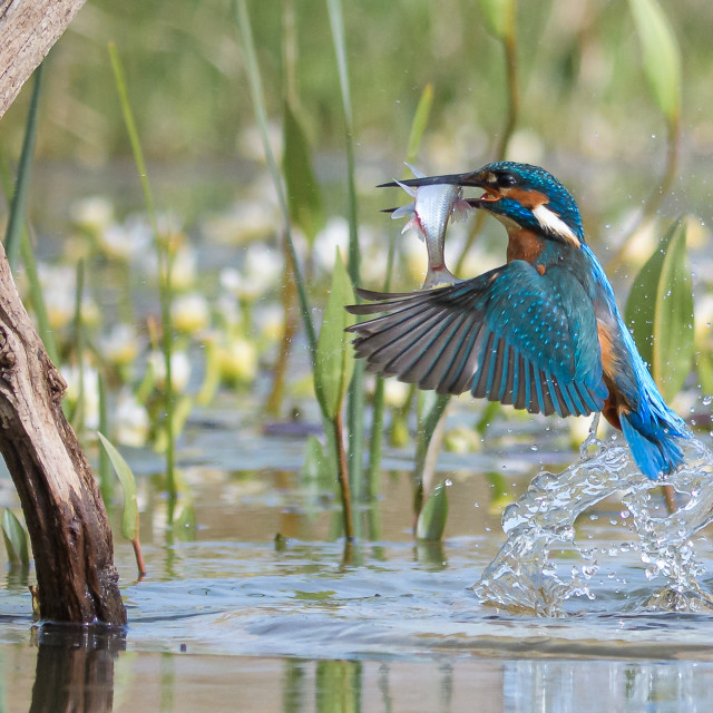 """Kingfisher - In flight"" stock image"