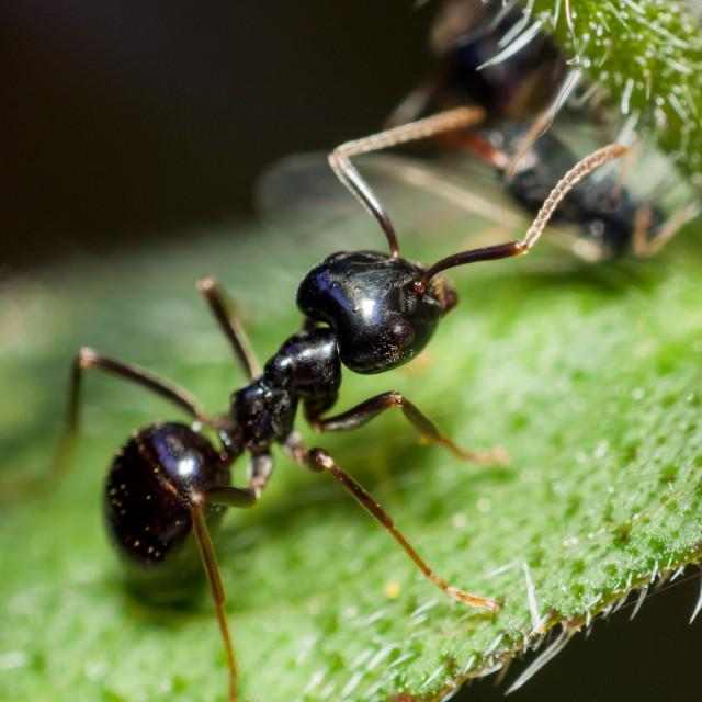 """Black Ant Closeup"" stock image"