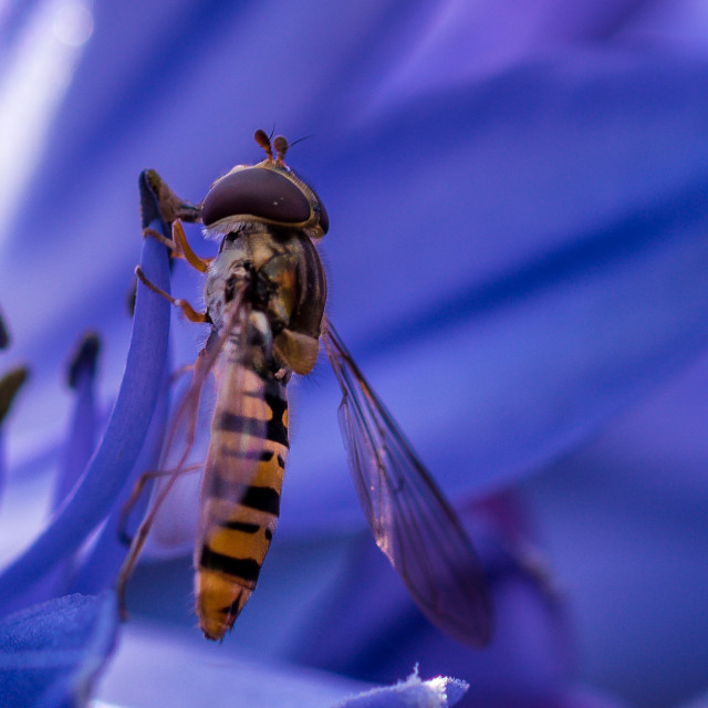 """""""Close-up of a Hoverfly on an Agapanthus"""" stock image"""