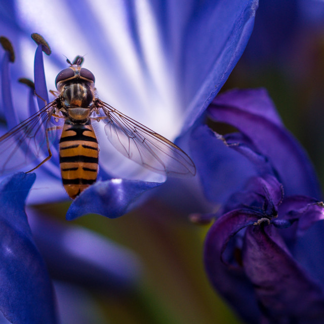 """""""Hoverfly on an Agapanthus"""" stock image"""