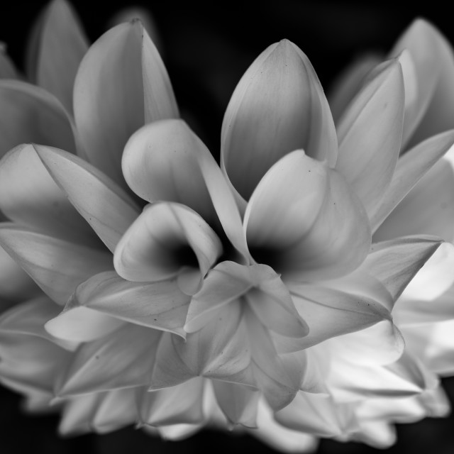 """Dahlia in Black and White"" stock image"