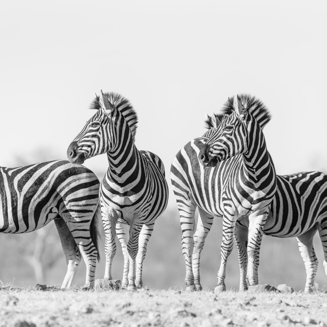 """""""A group of zebras"""" stock image"""