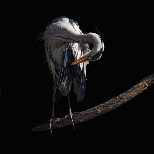"""Heron on black"" stock image"