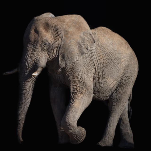 """Elephant bull"" stock image"