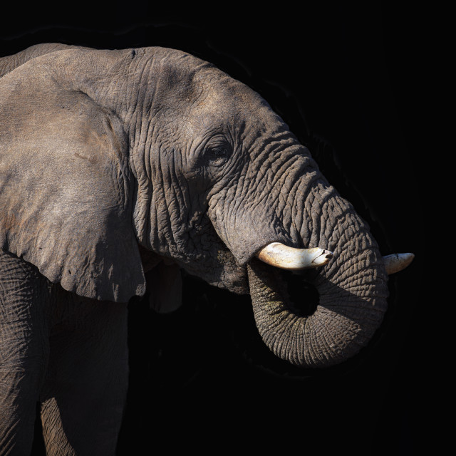 """""""Elephant with trunk in its mouth"""" stock image"""