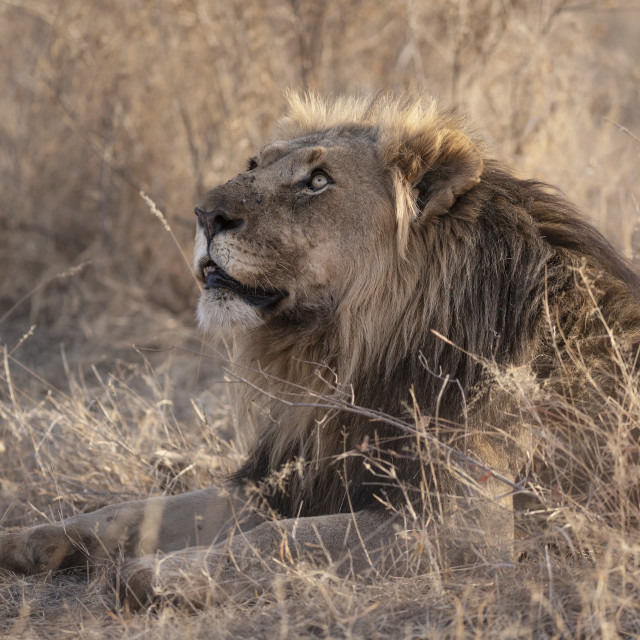 """""""Lion looking up"""" stock image"""
