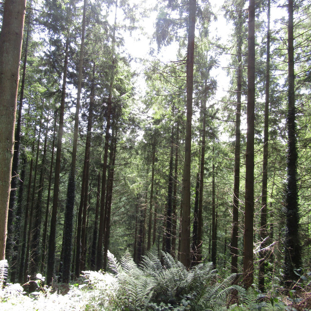 """""""Tall trees in Quantock Hills forest"""" stock image"""