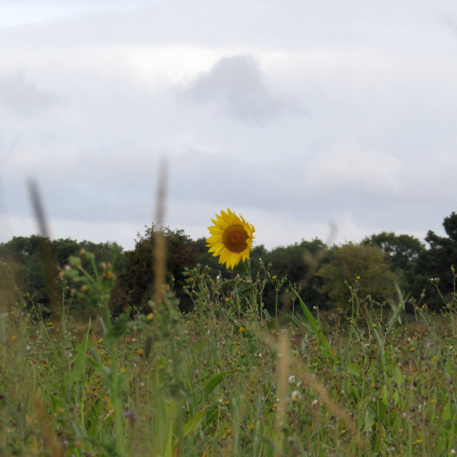 """Cotswold Sunflower alone!"" stock image"