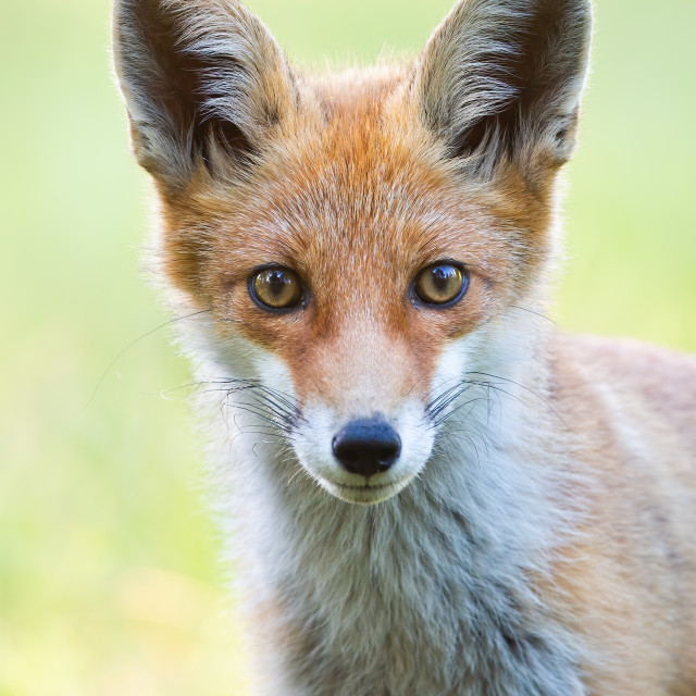 """Vertical close-up portrait of red fox with blurred green background."" stock image"