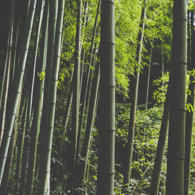 """""""Bamboo Forest"""" stock image"""