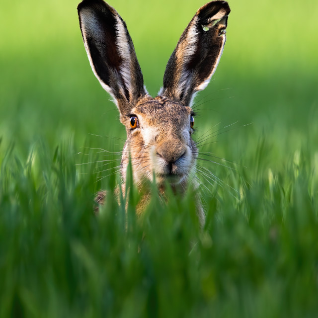 """Vertical portrait of brown hare, lepus europaeus, in springtime on green field."" stock image"