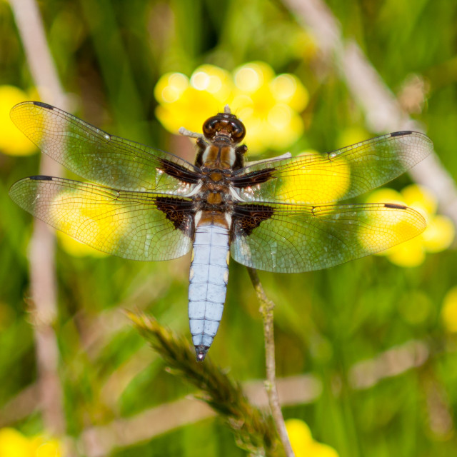"""""""Broad-bodied Chaser Dragonfly"""" stock image"""